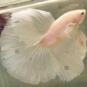 صور جميلة - سمكة تشبه الزهرة