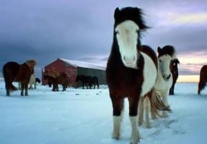 صور جميلة - حصان الثلج