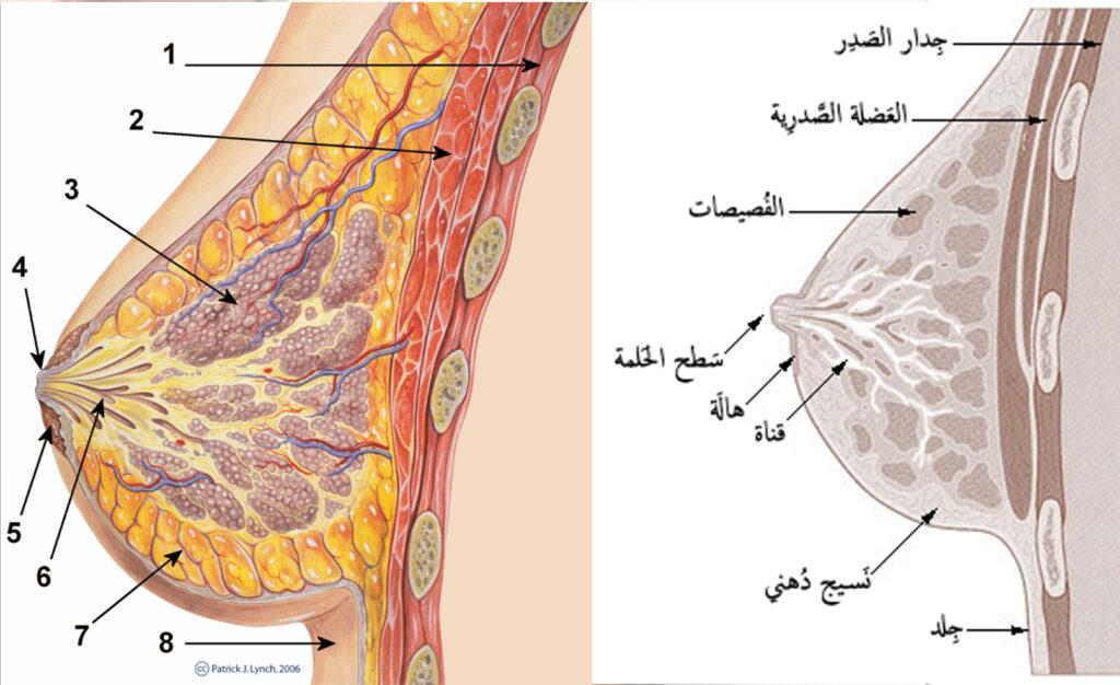 سرطان الثدي - ما هو الثدي؟